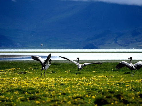 Hydropower project in eastern Himalayas will destroy migration site of 'vulnerable' black-necked cranes, conservationists claim.